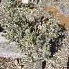 CylindropuntiaWhipplei.jpg 1127 x 845 px 351.67 kB