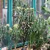 CyperusAlternifolius.jpg 1024 x 768 px 223.48 kB