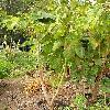 CyphomandraBetacea4.jpg 615 x 820 px 181.15 kB