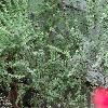 CytisusCanariensis4.jpg 1232 x 924 px 304.22 kB