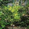 CytisusCanariensis.jpg 720 x 960 px 525.74 kB