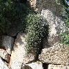 CytisusDecumbens3.jpg 1024 x 768 px 295.17 kB