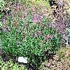 DaboeciaCantabrica.jpg 1024 x 768 px 359.75 kB