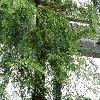 DacrycarpusImbricatus2.jpg 1024 x 768 px 313.88 kB