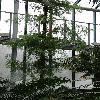 DacrycarpusImbricatus.jpg 681 x 908 px 379.45 kB
