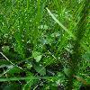 DactylorhizaFuchsii2.jpg 630 x 840 px 65.5 kB