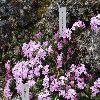 DaphneArbusculaMaritzina.jpg 1024 x 768 px 205.14 kB