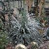 DasylirionGlaucophyllum.jpg 1024 x 768 px 280.11 kB