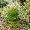 DasylirionLeiophyllum.jpg 1024 x 768 px 542.75 kB