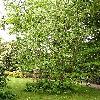 DavidiaInvolucrata4.jpg 615 x 820 px 219.19 kB