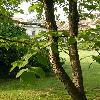 DavidiaInvolucrata6.jpg 630 x 840 px 156.09 kB