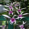 DendrobiumCaesar2.jpg 681 x 908 px 244.29 kB