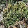 DeuterocohniaBrevifolia2.jpg 1024 x 683 px 526.79 kB