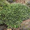 DeuterocohniaBrevifolia3.jpg 682 x 1024 px 563.88 kB