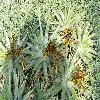 DeuterocohniaLotteae.jpg 1209 x 803 px 301.23 kB