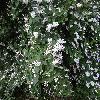 DeutziaScabraPrideOfRochester2.jpg 1167 x 875 px 305.57 kB