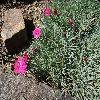 DianthusGratianopolitanusBadenia.jpg 1024 x 768 px 314.89 kB