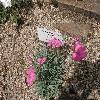 DianthusGratianopolitanusCariana.jpg 1127 x 845 px 273.91 kB