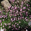 DianthusTinyRubies.jpg 1024 x 768 px 350.24 kB