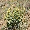 DiarthronAmmodendron.jpg 906 x 600 px 425.95 kB
