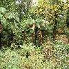 DicksoniaAntarctica7.jpg 1095 x 821 px 377.59 kB