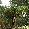 DicksoniaSquarrosa2.jpg 600 x 903 px 424.85 kB