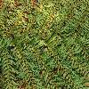 DicksoniaSquarrosa3.jpg 903 x 600 px 436.83 kB