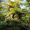 DicksoniaSquarrosa.jpg 600 x 903 px 428.73 kB