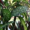 DieffenbachiaAmoena2.jpg 1024 x 768 px 171.74 kB