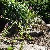 DigitalisPurpurea6.jpg 681 x 908 px 482.89 kB