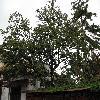 Diospyros2.jpg 1110 x 833 px 276.97 kB