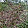 DipeltaYunnanensis.jpg 720 x 960 px 563.92 kB