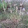 DipsacusSativus.jpg 576 x 768 px 153.56 kB