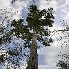 DipterocarpusAlatus2.jpg 627 x 944 px 386.85 kB