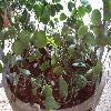 DischidiaAlbiflora2.jpg 1024 x 768 px 198.35 kB