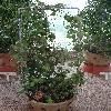 DischidiaAlbiflora.jpg 720 x 960 px 433.6 kB
