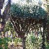 DracaenaCinnabari.jpg 1109 x 832 px 300.91 kB