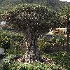 DracaenaDraco2.jpg 608 x 636 px 146.72 kB