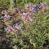 DracocephalumIntegrifolium2.jpg 800 x 1200 px 530.61 kB