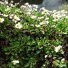 DryasSuendermannii.jpg 681 x 908 px 440.96 kB