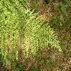 Dryopteris2.jpg 1024 x 768 px 247.32 kB