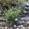 DryopterisAffinis.jpg 1224 x 918 px 354.29 kB