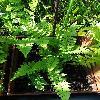DryopterisCristata.jpg 681 x 908 px 217.58 kB