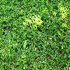 DuchesneaIndica.jpg 1024 x 685 px 309.47 kB