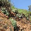 DudleyaFarinosa.jpg 1200 x 900 px 566.06 kB