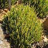 DudleyaViscida.jpg 800 x 600 px 397.07 kB