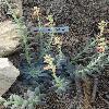 EcheveriaBifida3.jpg 720 x 960 px 394.75 kB
