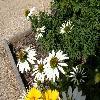 EchinaceaAngustifoliaAlba.jpg 1127 x 845 px 228.04 kB