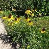 EchinaceaParadoxa.jpg 720 x 960 px 575.72 kB