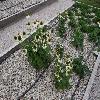 EchinaceaPurpureaWhiteSwan.jpg 1024 x 768 px 276.28 kB